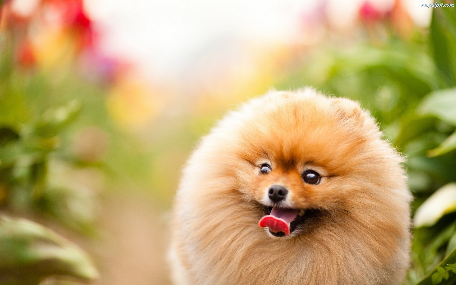 Cute White Dogs Wallpapers Pomeranian Pies Język Na Pulpit