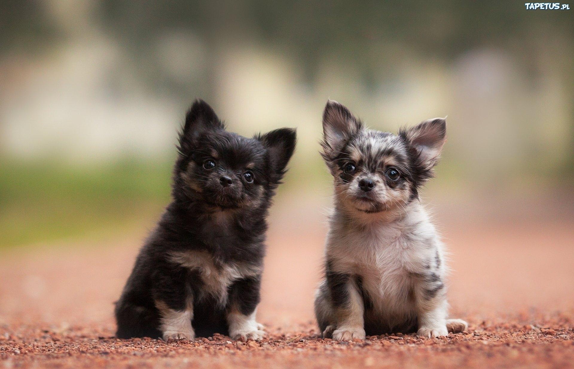 Cute Shih Tzu Puppies Wallpaper Dwa Pieski Szczeniaki