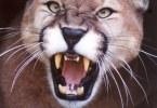 apple-mountain-lion-roars