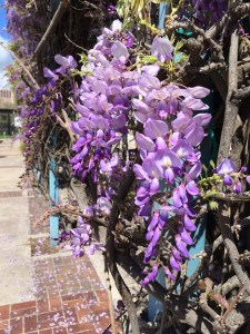 The wisteria starting to bloom.