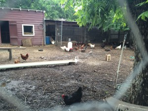 Springdale's chickens. Happily scratching away .
