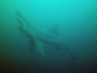 Hai, Tauchen im Kreidesee Hemmoor