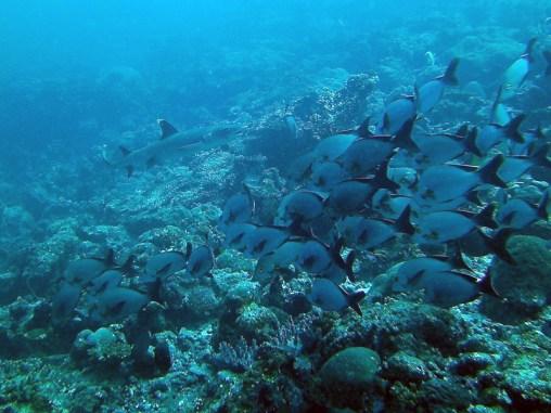 Weisspitzriffhai, Vilamendhoo, Ari Atoll, Tauchen auf den Malediven