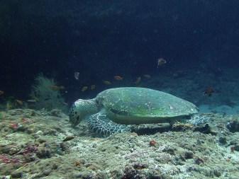 Schildkröte, Vilamendhoo, Ari Atoll, Tauchen auf den Malediven