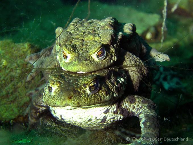 Erdkrötenpaar, Tauchen in Löbejün