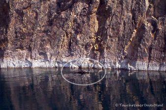 schwimmendes Wildschwein, Tauchen in Löbejün
