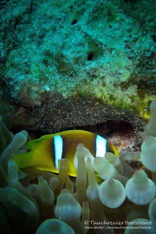 Anemonenfisch, clown fish, Tauchen in Safaga, Tauchen in Ägypten, Tauchen im Roten Meer