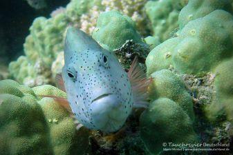 Büschelbarsch, hawkfish, Tauchen in Safaga, Tauchen in Ägypten, Tauchen im Roten Meer