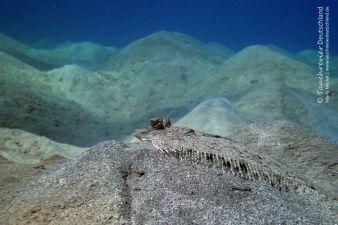 Pantherbutt, leopard flounder, Tauchen in Safaga, Tauchen in Ägypten, Tauchen im Roten Meer