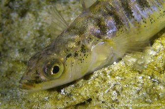 Dreistachlige Stichling (Gasterosteus aculeatus), Tauchen in Hemmoor
