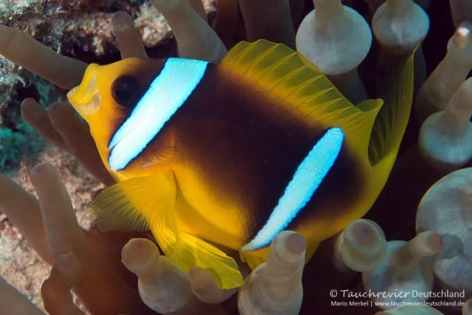 Clownfisch, ORCA Dive Club Safaga, Tauchen in Safaga, Tauchen in Ägypten