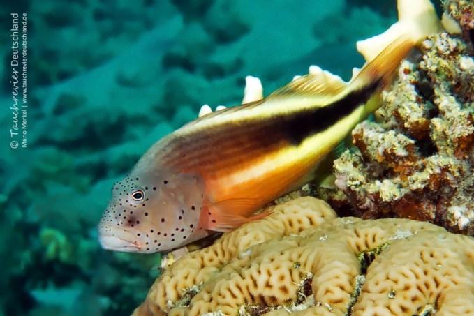 Korallenwächter, ORCA Dive Club Safaga, Tauchen in Safaga, Tauchen in Ägypten