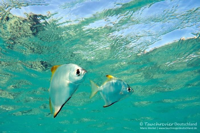Silber-Flossenblatt, ORCA Dive Club Safaga, Tauchen in Safaga, Tauchen in Ägypten