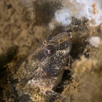 Marmorierte Süßwassergrundel (Proterorhinus semilunaris), Marmorgrundel, Nasengrundel, Neozoen, Fischfauna. Laichräuber