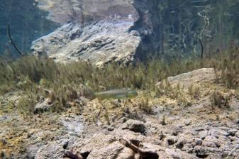 Bachforelle, Tauchen im Fernsteinsee, Tauchen in Österreich