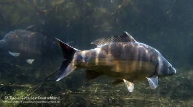 Spiegelkarpfen, Cyprinus carpio, Karpfenfische, Tauchen in Deutschland