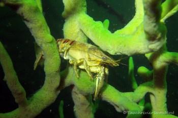Flußkrebs in Süßwasserschwamm