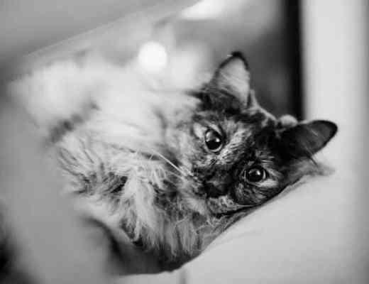 T Cat