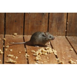 Small Crop Of Mice In Walls