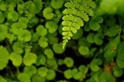 green_fern