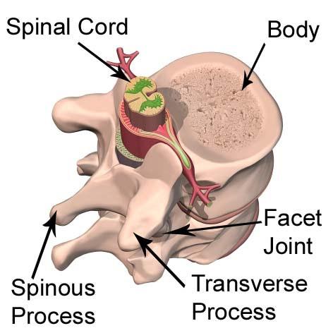 Anatomy Of The Spine The Skeleton  Bones Anatomy  Physiology