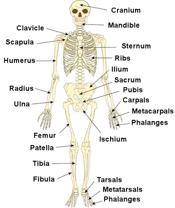 The Human Skeleton The Skeleton  Bones Anatomy  Physiology