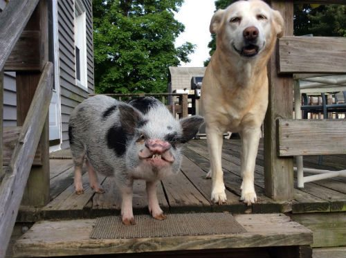 Pig 50 lbs. Dog 43lbs Pound for Pound pigs are not equal to dogs