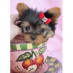Small Crop Of Teacup Yorkie Poo