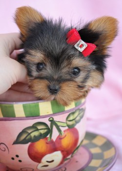 Small Of Teacup Yorkie Poo