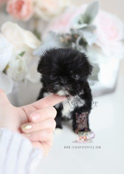 Pristine Sale Puppies Imperial Shih Tzu Puppies Sale Indiana