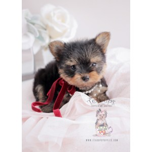 Indoor Sale Los Angeles Coffee Website Teacup Yorkie Puppies Sale