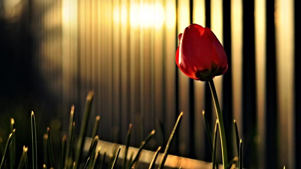 HD tulip red flower image wallpaper