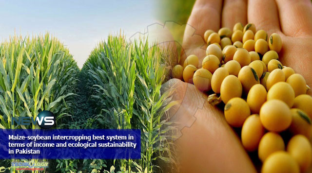 Maize-soybean-intercropping