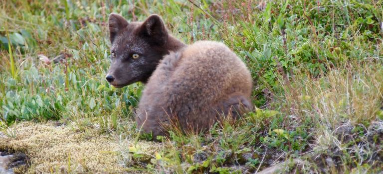 Arctic foxes to the Arctic circle