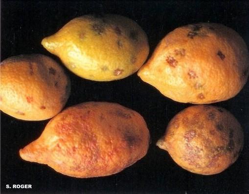 Daños por granizo en citricos