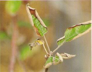 Carencia de Potasio en Manzano