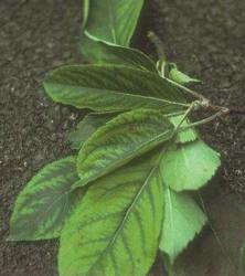 Carencia de Manganeso en Manzano