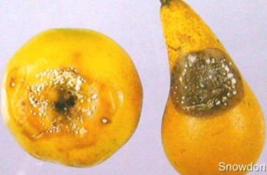 Nectria galligena
