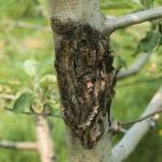 Erwinia amylovora - Fuego bacteriano