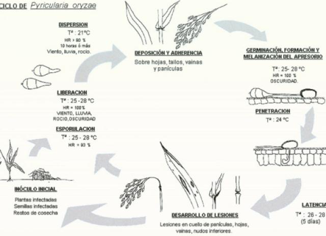 piricularia oryzae