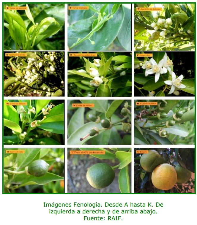 fenologia citricos