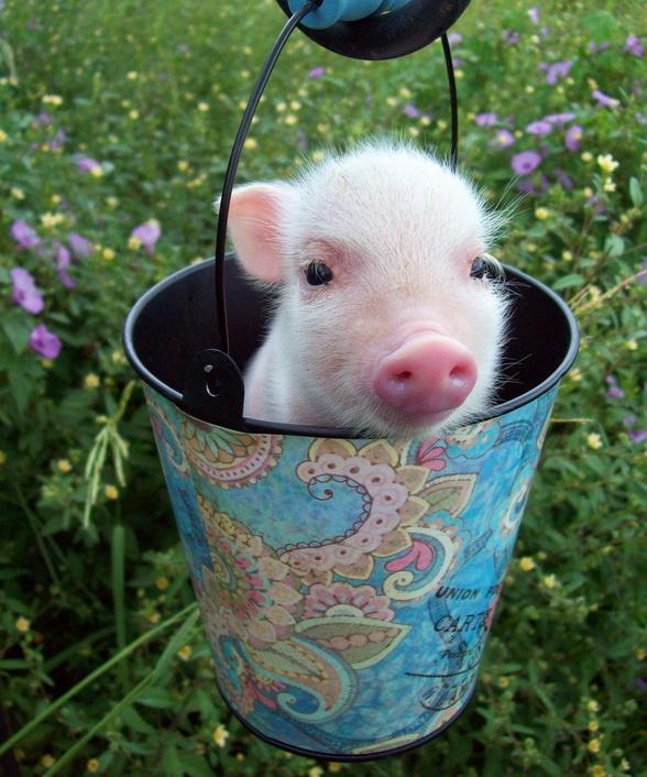 Cute Piglets Wallpaper Piglet In A Bucket Teh Cute