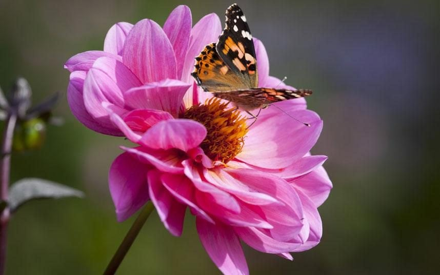 Lady Butterfly Hd Wallpaper How To Create A Butterfly Garden The Telegraph