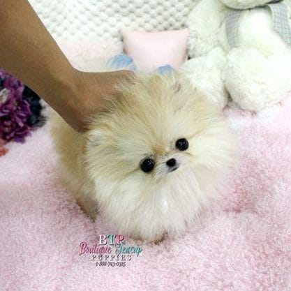 Cute Pomeranian Puppies Wallpaper Rspca Warns Against Buying South Korean Teacup Puppies