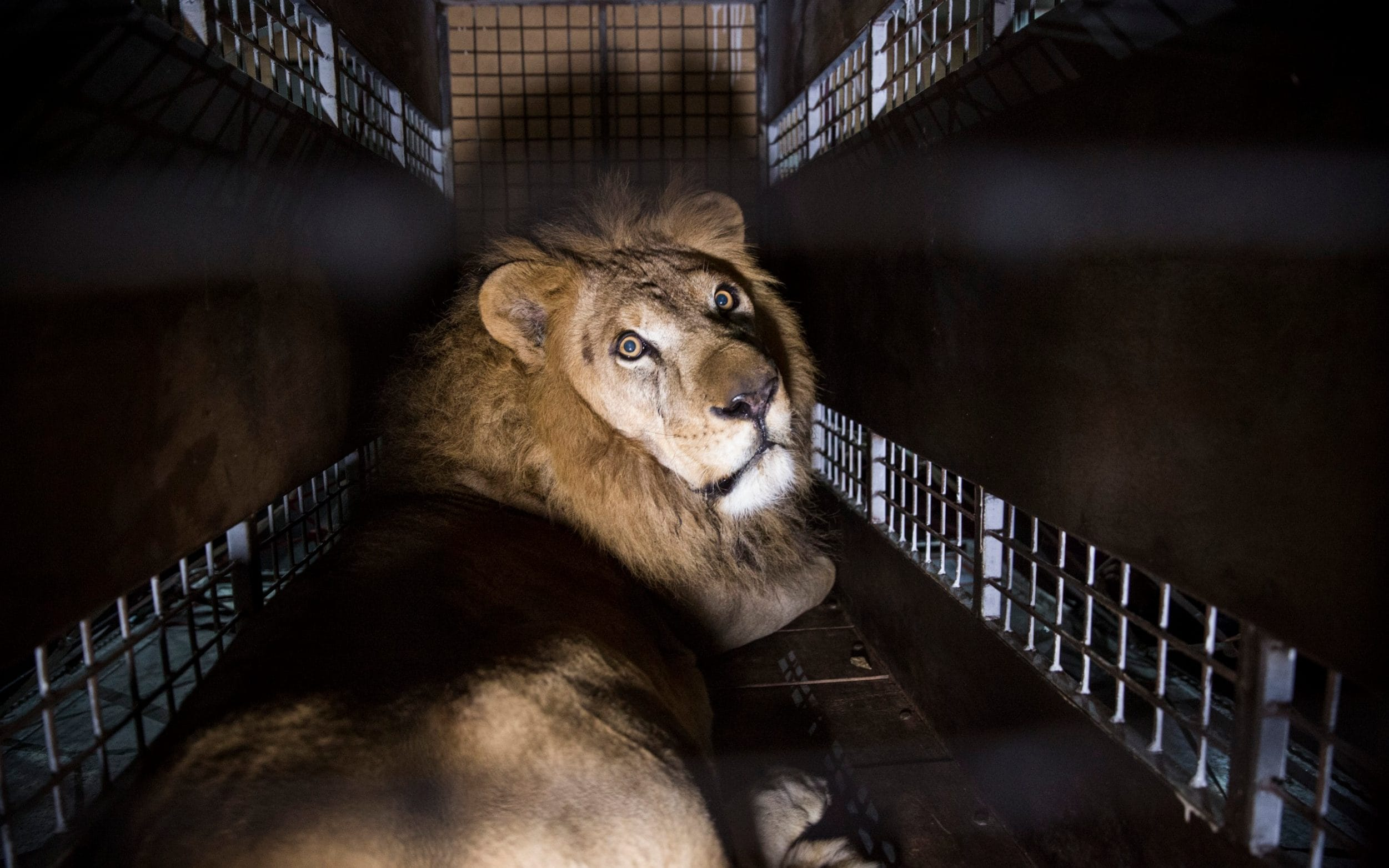 Lions Rescued From Circus Dead In Apparent Witchcraft