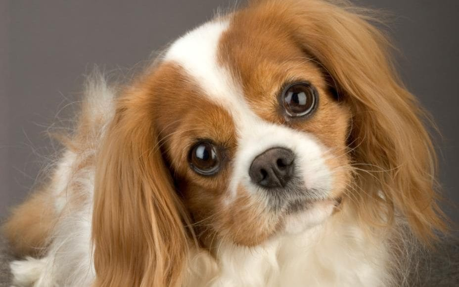 Cute Puppies Wallpapers For Mobile Heart Drug Can Extend Dogs Lives But Careful Breeding
