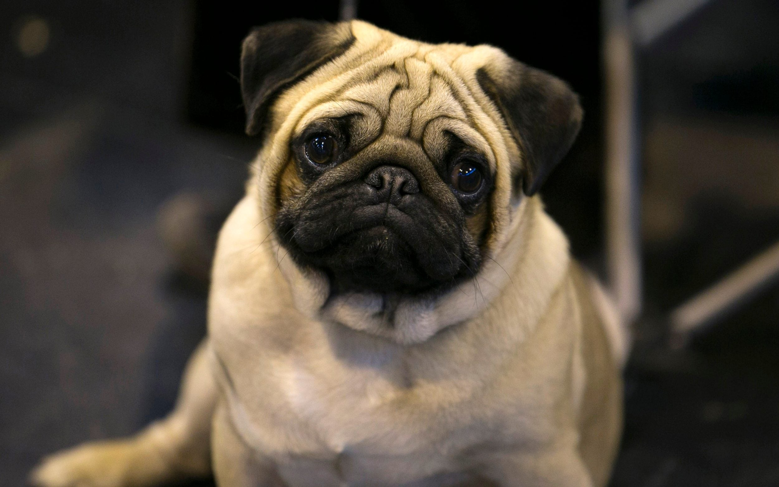 Cute Dogs And Puppies Wallpaper For Mobile Should Pugs And Bulldogs Be Banned It Might Be The Only