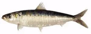cuisson sardine, temps de cuisson sardine, sardine cuisson, sardine