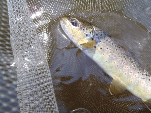 Brown Trout on a tenkara fly