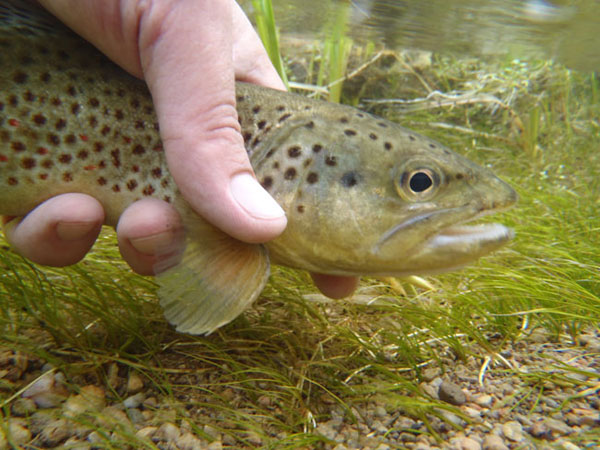 Tenkara Spring Creek Fishing